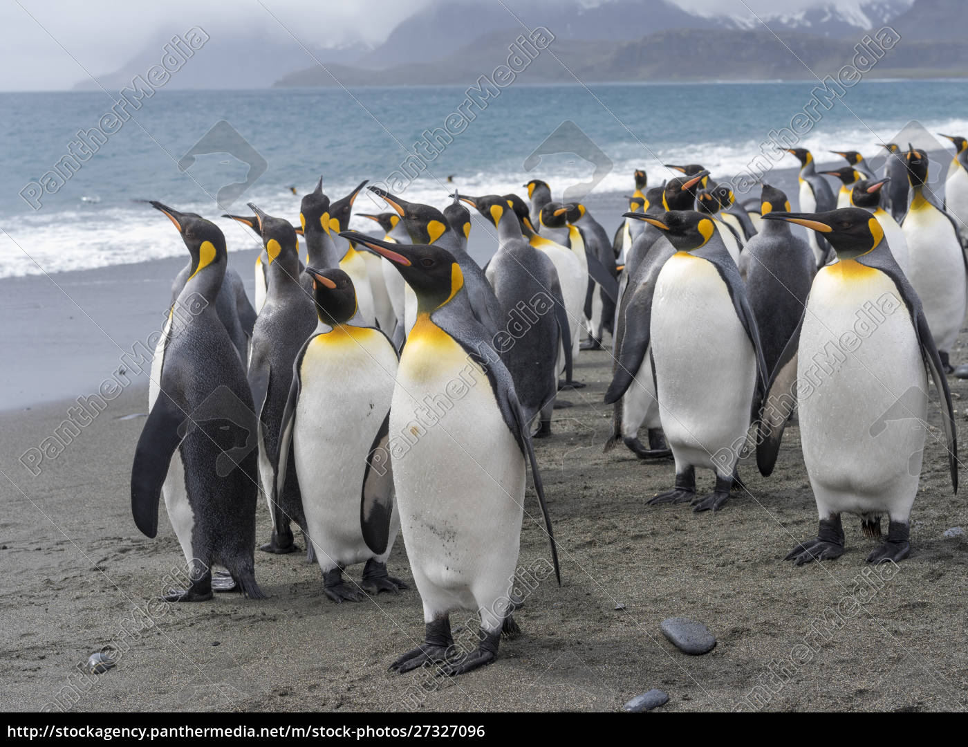 king, penguin, (aptenodytes, patagonicus), on, the - 27327096