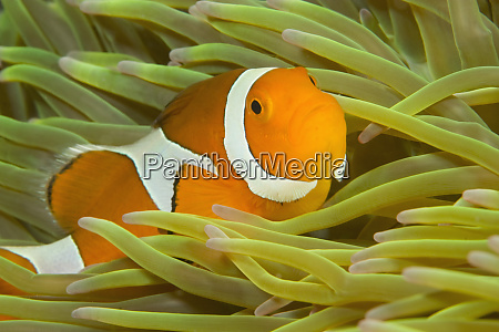 falscher clown anemonefish amphiprion ocellaris neuguinea