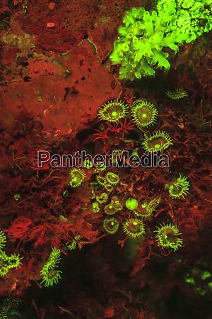 natuerlich vorkommende rote fluoreszenzschwaemme leucetta sp