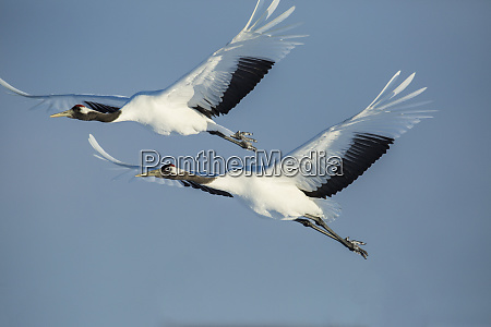 japan hokkaido japanese cranes flying