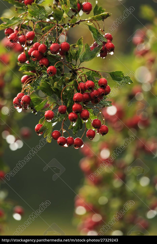hawthorn, tree., st., stephen's, heritage, church - 27329243