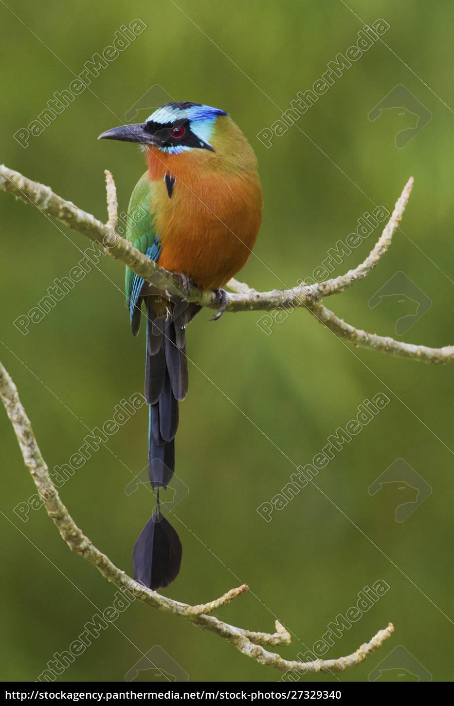 trinidad, motmot, blaugekröntes, motmot - 27329340