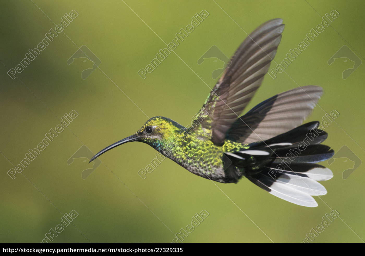 whitetailed, sabrewing, (campylopterus, ensipennis), fliegen, trinidad - 27329335