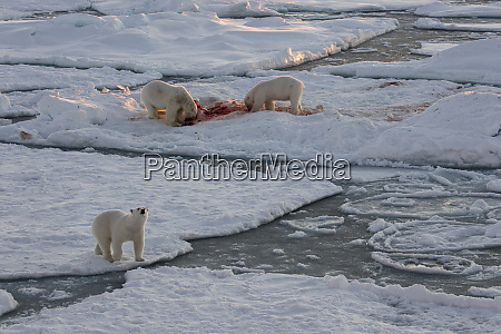 norway svalbard spitsbergen polar bears feed