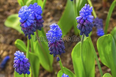 blue purple grape hyacinths green leaves