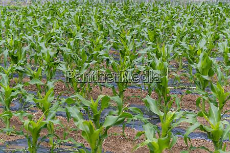 fresh corn field in the garden