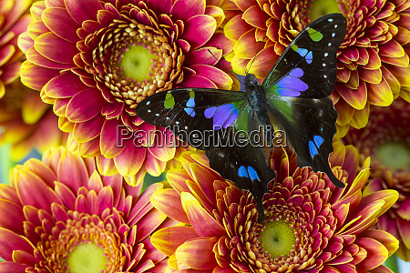 purple spotted swallowtail butterfly graphium weiski