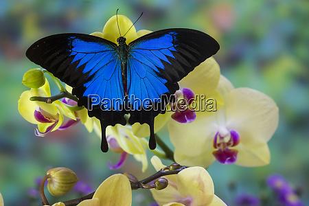 bergblauer schwalbenschwanz von australien papilio ulysses