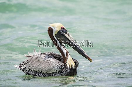 belize ambergris caye erwachsene braun pelikan