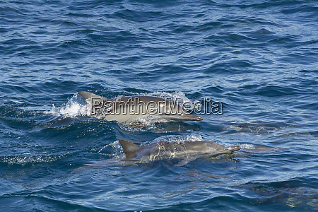 common dolphin baja california sea of
