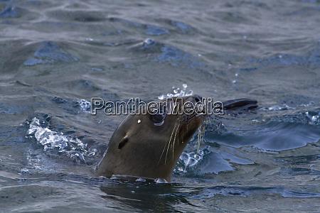 california sea lion isla san pedro