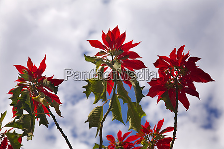 red poinsettia tree against blue sky