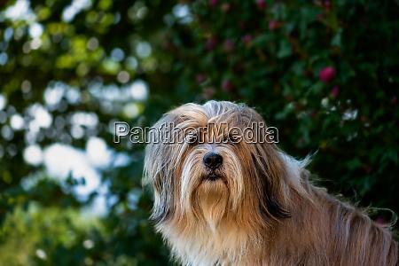 portraet kopf eines schoenen tibetischen terrierhundes