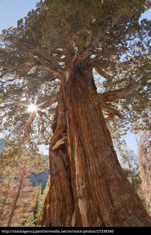 usa, kalifornien, inyo, national, forest., alter, wacholderbaum, auf - 27338340