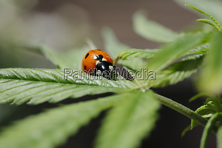der marienkaefer und die cannabispflanze