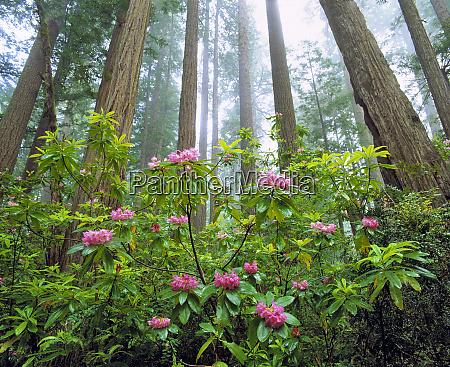 usa kalifornien redwood np rhododendron bluehen