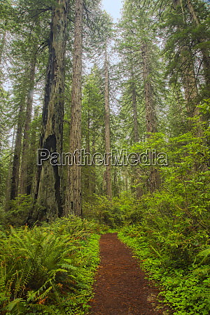 redwood trees in morning fog with