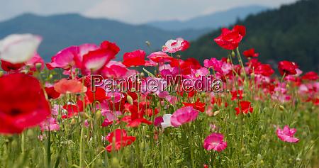 beautiful poppy flower garden park