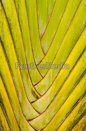 travelers palm ravenala madagascariensis byodo in