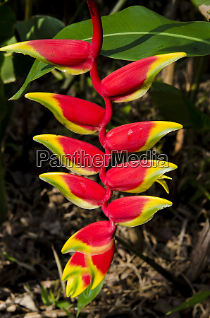 lobster claw heliconia heliconia rostrata waimea