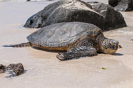a green sea turtle chelonia mydas