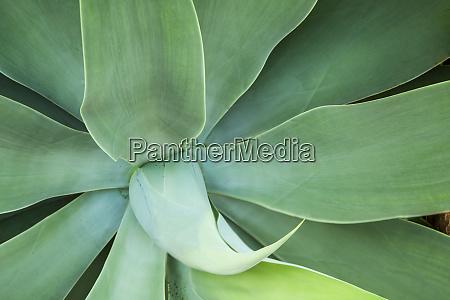 usa hawaii kauai agave plant close