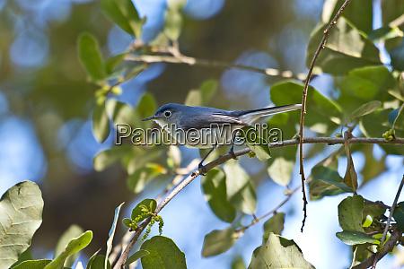 usa florida immokalee blue gray gnatcatcher