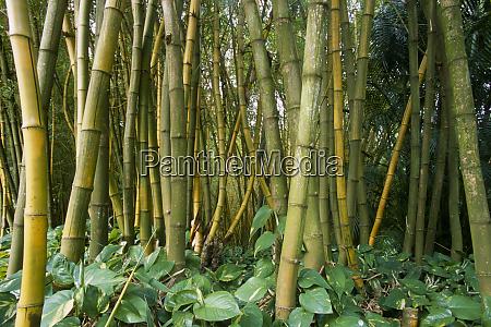 bamboo bambusa vulgaris l vittata grove