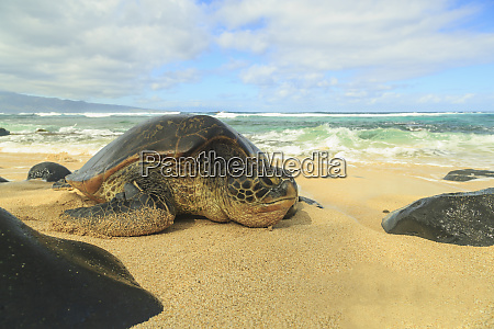 green sea turtle chelonia mydas pulled