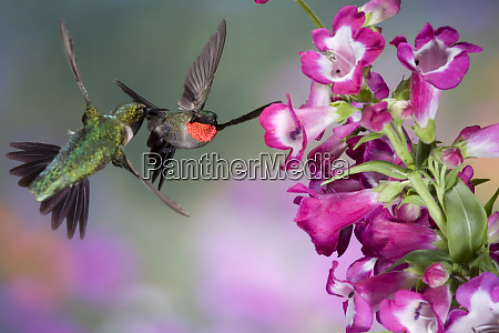ruby throated hummingbirds archilochus colubris males