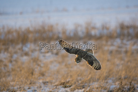 short eared owl asio flammeus in