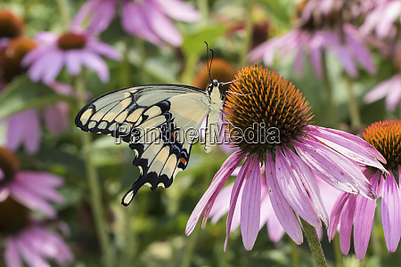 giant swallowtail butterfly papilio cresphontes on