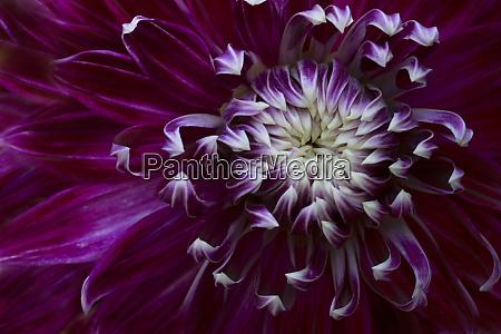 usa maine harpswell purple dahlia detail