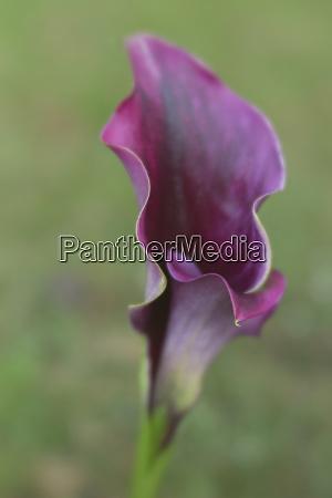 usa maine harpswell purple calla lily