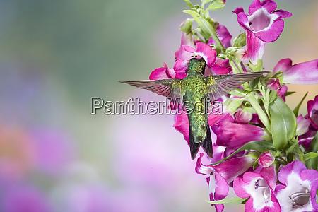 rubinkehlkolibri, (archilochus, colubris), männlich, bei, phoenix - 27341266