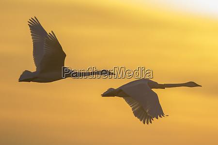 trumpeter swans cygnus buccinator flying to