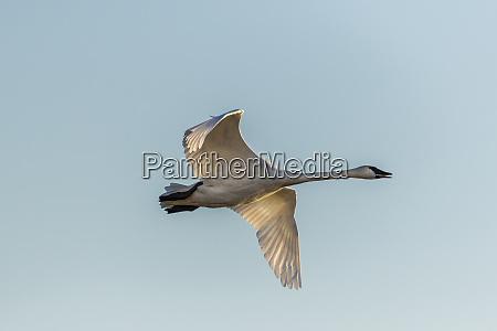 trumpeter swan cygnus buccinator flying riverlands
