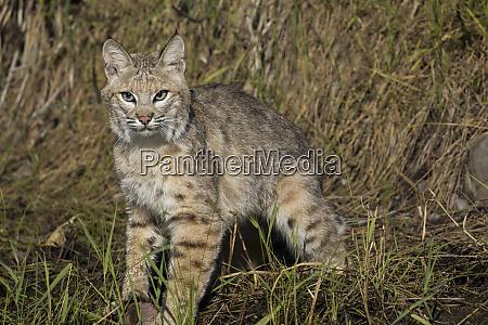 bobcat profil starren alarm