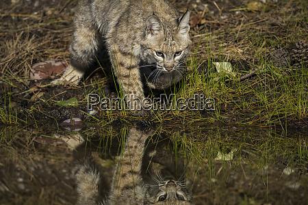 bobcat reflexion