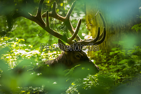 a rocky mountain elk is pictured