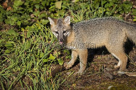 glacier nationalpark montana grey fox