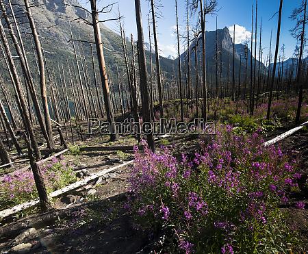 glacier nationalpark montana alpenblume