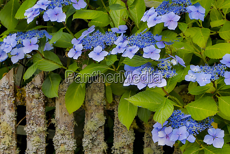 blue hydrangea along fence gardens of