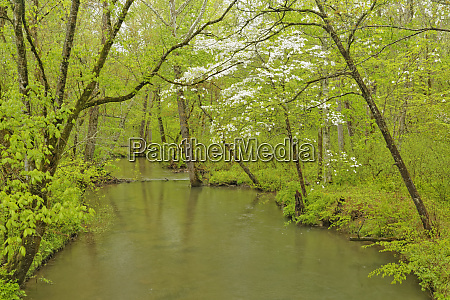 dogwood tree in full bloom cades