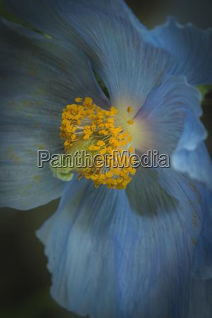 usa pennsylvania philadelphia african blue poppy