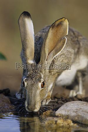 blacktailed jack rabbit lepus californicus trinken