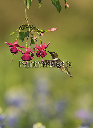 black chinned hummingbird archilochus alexandri adult