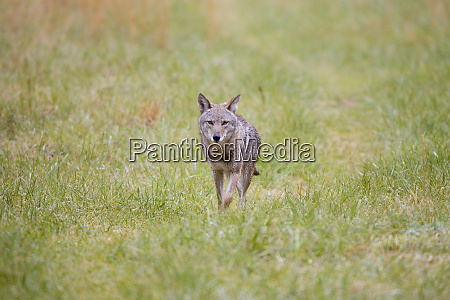 coyote canis latrans in field cades