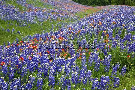 texas hill country wildblumen entlang der