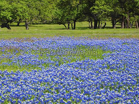 fruehlingsbluete von bluebonnets und pinsel in